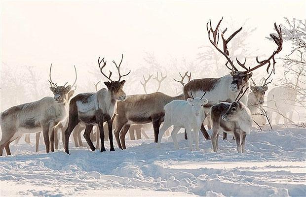 Оленеводству в Сибире грозят изменения климата или слишком большое поголовье оленей