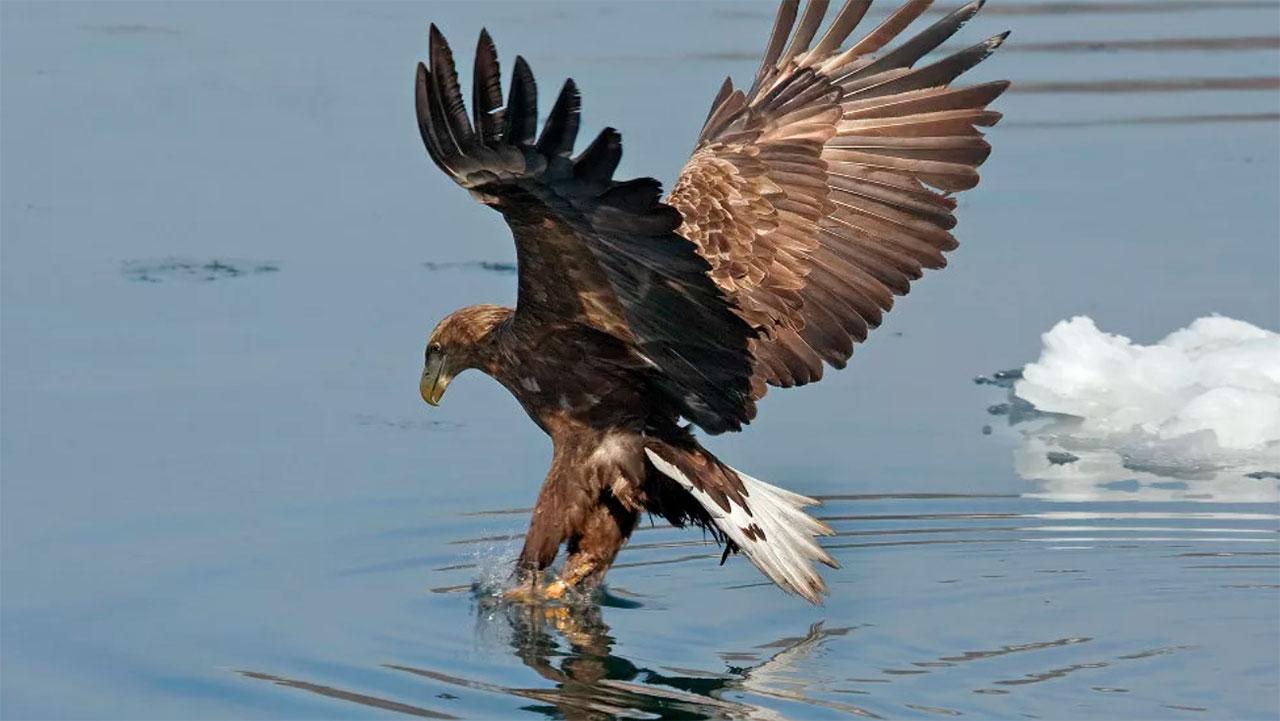 птицы орлан белохвост живого, его подбирает